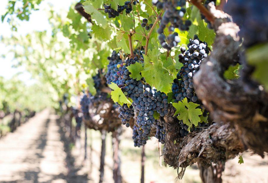 Fotografía de un viñedo